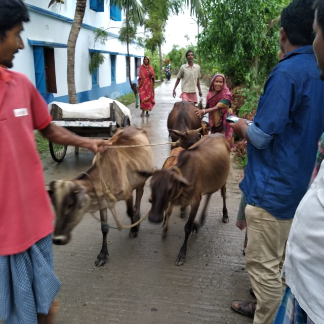 This photo shows villagers walking on the street taking their cattle with them to a safe location